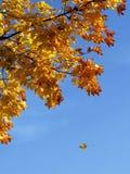 падая клен листьев Стоковые Изображения