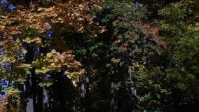 Падая листья в лесе осени сток-видео