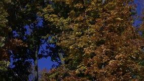 Падая листья в лесе осени видеоматериал