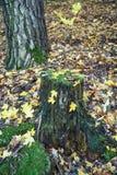 Падая листья и старый ствол дерева в лесе Стоковые Фотографии RF