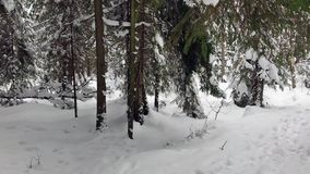 Падая снег в парке зимы с снегом покрыл деревья Прогулка пущи зимы видеоматериал
