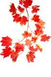 падение ветви цветастое выходит красный цвет Стоковое Изображение