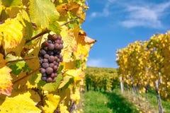 Падение виноградника крупного плана плодоовощей виноградин выходит осень обрабатывая землю Agricu Стоковая Фотография