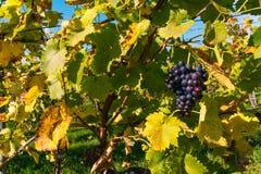 Падение виноградника крупного плана плодоовощей виноградин выходит осень обрабатывая землю Agricu Стоковое Изображение RF