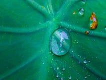 Падение воды в красивых зеленых больших лист стоковая фотография rf