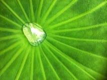 Падение воды и уложить на предпосылке текстуры лист colocasia esculenta большой зеленой стоковое изображение rf