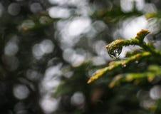Падение воды на ветви туи Стоковая Фотография