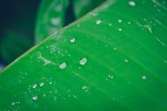 Падение воды на зеленой предпосылке лист банана Стоковые Фотографии RF