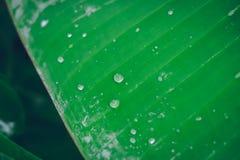 Падение воды на зеленой предпосылке лист банана Стоковая Фотография
