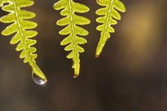 Падение воды на папоротниках на зоре, освещает контржурным светом стоковые фото