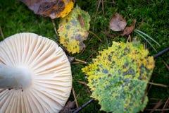 Падение гриба и березы сыроежки выходит в selecti крупного плана мха Стоковая Фотография RF