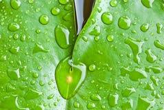 Падение дождя на листьях лотоса Стоковые Фотографии RF