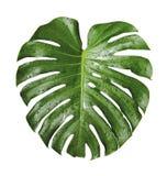 Падение лист и воды deliciosa Monstera тропическое Стоковые Изображения RF