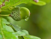Падение на жолуде Стоковое Изображение RF