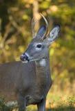 падение самеца оленя Стоковая Фотография RF