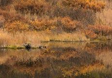 падение цветов Аляски Стоковая Фотография RF
