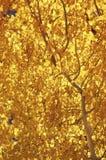падение цветов осины Стоковые Изображения RF
