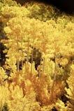 падение 6 цветов осины Стоковое Изображение