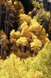 падение 7 цветов осины Стоковые Фото