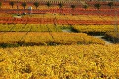 падение vineyards16 Стоковое Изображение RF