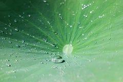 Падения воды на зеленых листьях лотоса Стоковые Фото