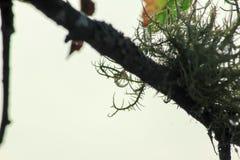 Падения воды на подсказке лишайника Стоковая Фотография