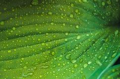 Падения воды на свежих зеленых листьях Стоковые Изображения