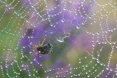 Падения воды на spiderweb Стоковые Изображения