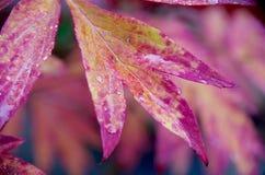 Падения дождя на красных листьях падения пиона Стоковые Изображения RF