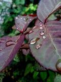 Падения дождя на подняли листья Стоковые Изображения RF