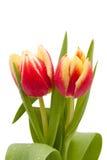 падения изолировали красный желтый цвет воды тюльпанов Стоковое фото RF