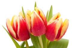 падения изолировали красный желтый цвет воды тюльпанов Стоковое Изображение RF