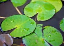 падения листают lilly вода дождя Стоковое Фото