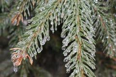 Падения льда на елевых иглах Стоковые Фотографии RF