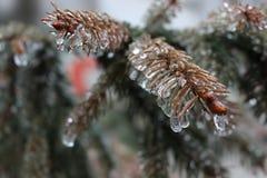 Падения льда на елевых иглах Стоковое Изображение