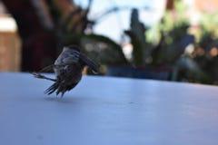 Падения птицы на белую предпосылку стоковое изображение rf