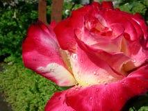 Падения росы красной розы сверкнают стоковое изображение rf