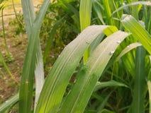 Падения росы на лист травы лимона Свежесть в раннем утре Стоковое фото RF