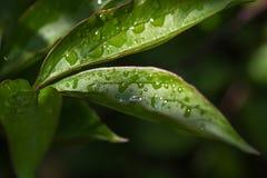 Падения росы на пионе выходят макрос конца-вверх Зеленая предпосылка стоковое фото rf
