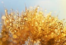 Падения росы на семенах одуванчика Стоковые Изображения