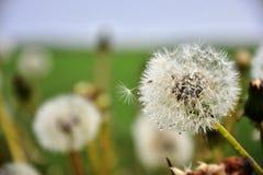 Падения семян и росы одуванчика Стоковые Изображения