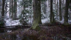 Падения снега в лес с деревьями Интенсивный снег немедленно покрывает поверхность ветвей леса и дерева акции видеоматериалы
