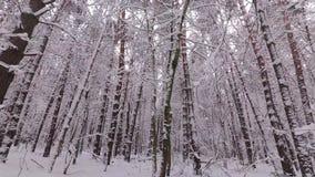 Падения снега от ветви, леса зимы, снега покрытый сосновый лес сток-видео