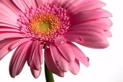 падения цветут белизна Стоковое фото RF