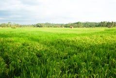 пади поля зеленоватый Стоковая Фотография RF