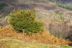 Падуб Буш ягоды гружёный стоковое фото rf