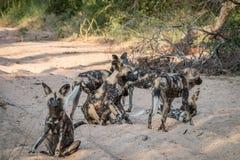Пакет африканский играть дикой собаки Стоковое Фото