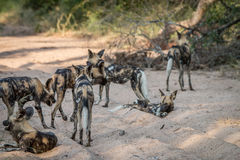 Пакет африканский идти дикой собаки Стоковое Изображение RF