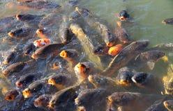 Пакет большой рыбы карпа Стоковая Фотография RF