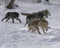 Пакет волка в снеге Стоковое Изображение RF